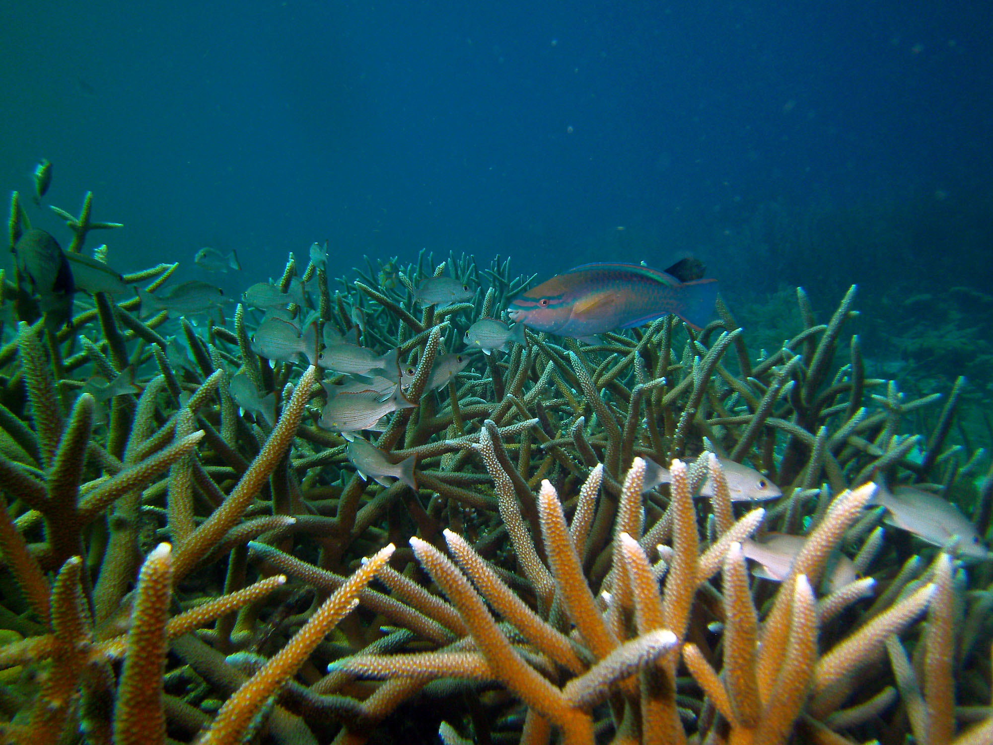 staghorn coral resoration