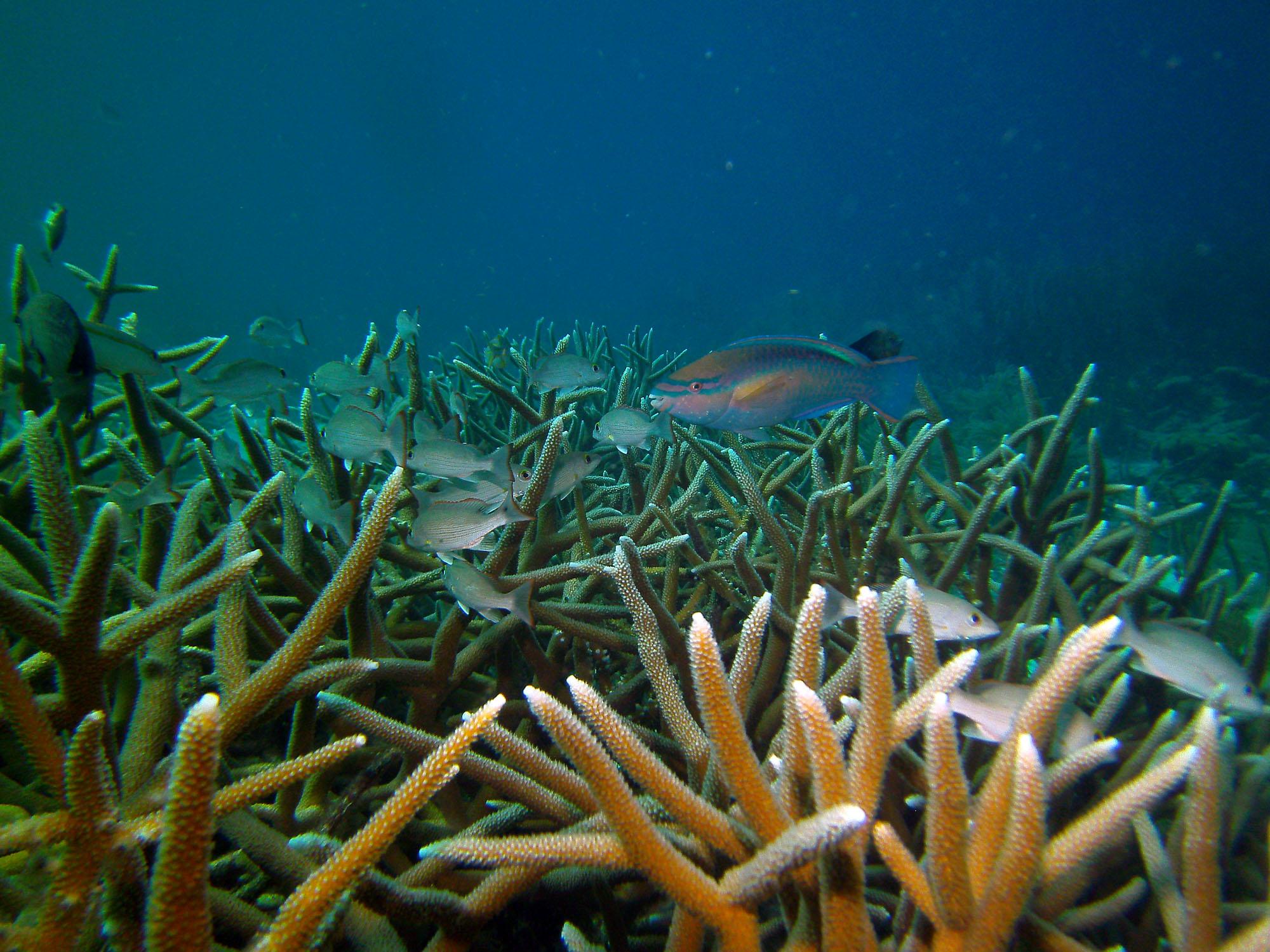 staghorn coral resoration