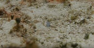 Shooting video of a yellowhead jawfish with an auto focus lens.